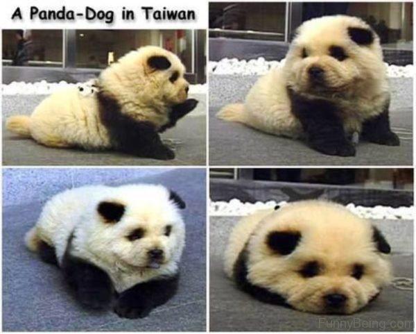 A Panda Dog In Taiwan