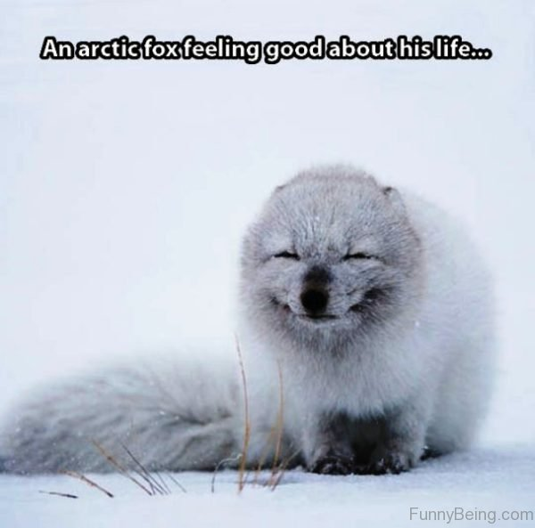 An Arctic Fox Feeling Good About His Life