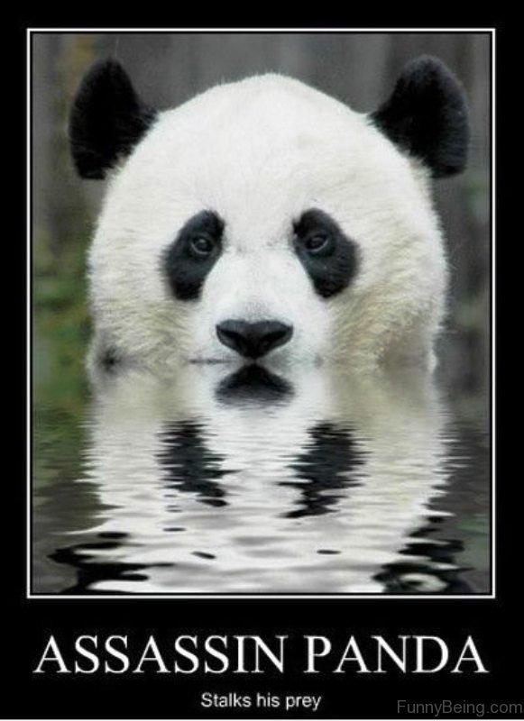 Assassin Panda Stalks His Prey 80 cute panda memes