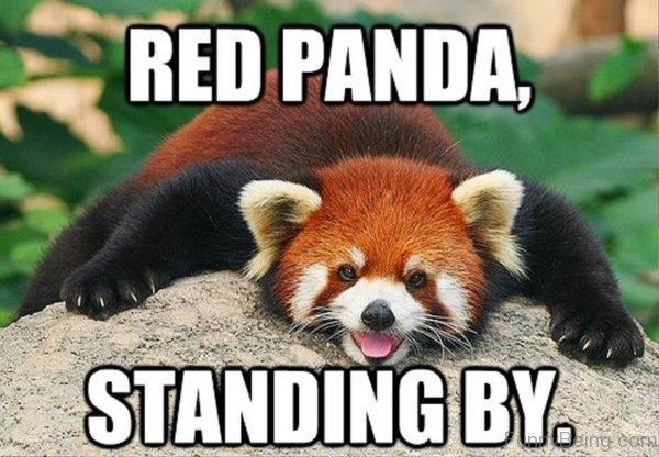 Red panda memes