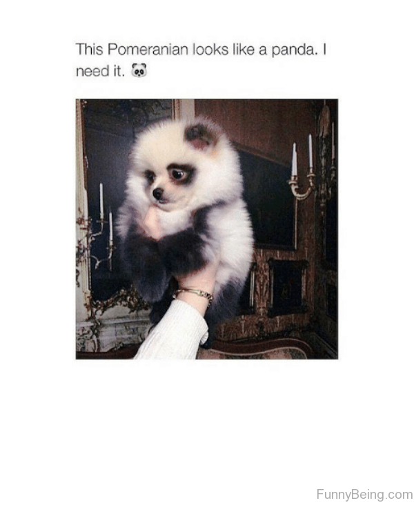 This Pomeranian Looks Like A Panda