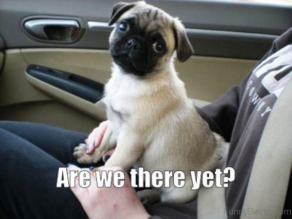 100 Hilarious Pug Memes Pictures