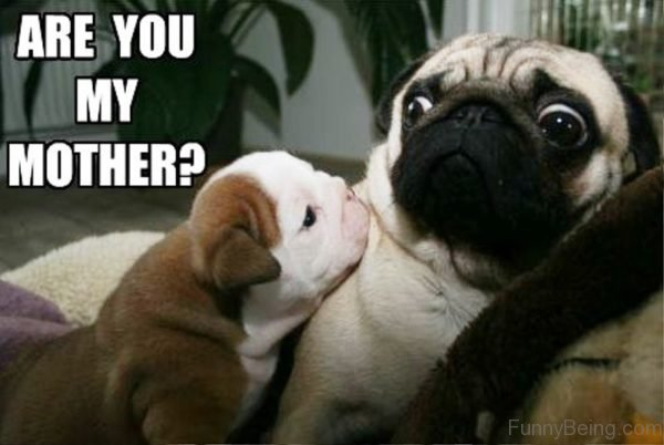 Are You My Mother 600x402 100 hilarious pug memes pictures