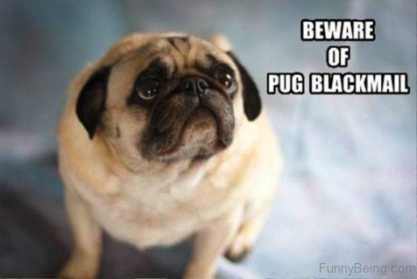 Beware Of Pug Blackmail