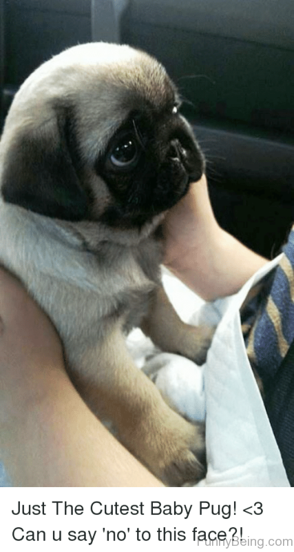 Just The Cutest Baby Pug