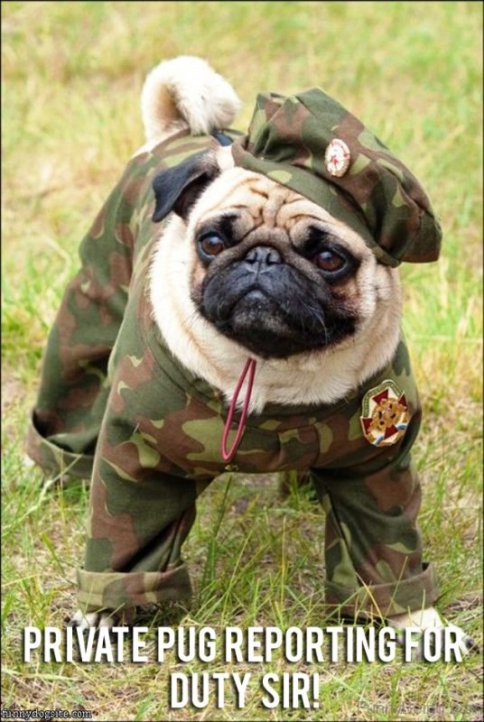 Private Pug Reporting For Duty Sir