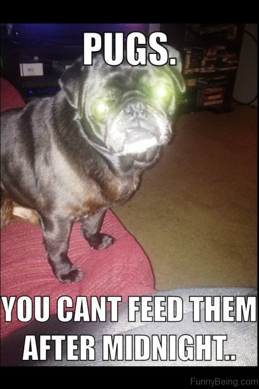 Pugs You Cant Feed Them