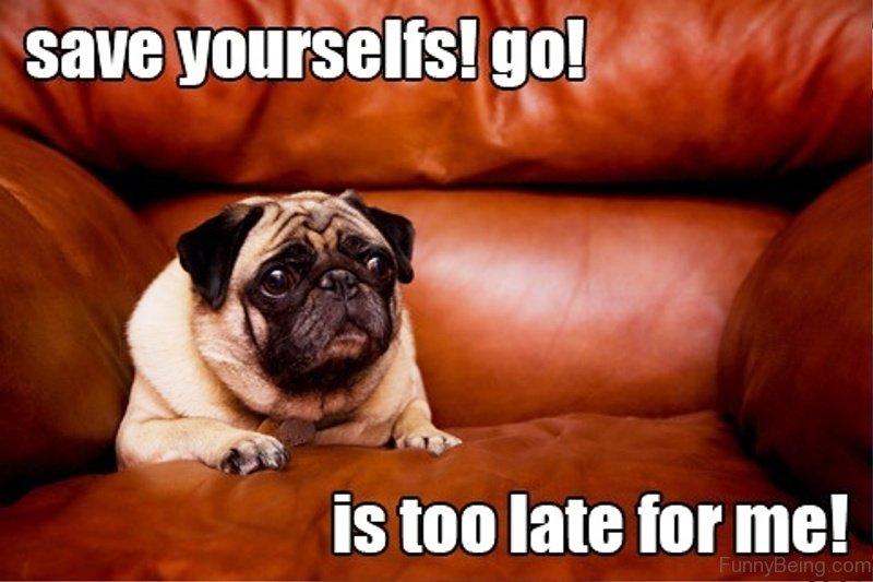 88 superb pug memes pictures