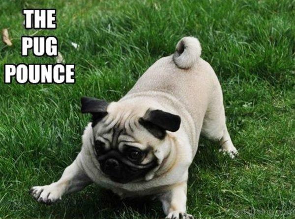 The Pug Pounce