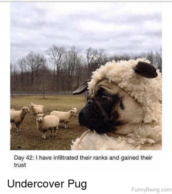 Undercover Pug