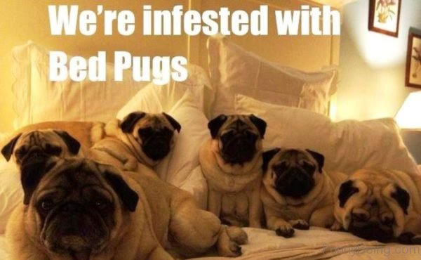 We re Infested With Bed Pugs