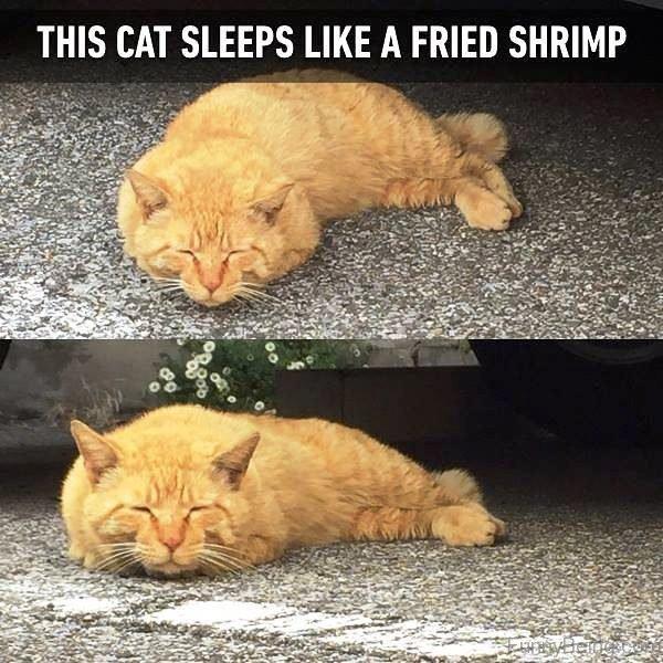 This Cat Sleeps Like A Fried Shrimp